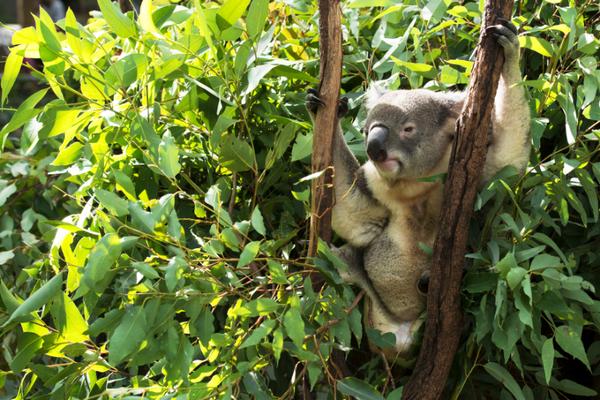 australie-koala-st.jpeg