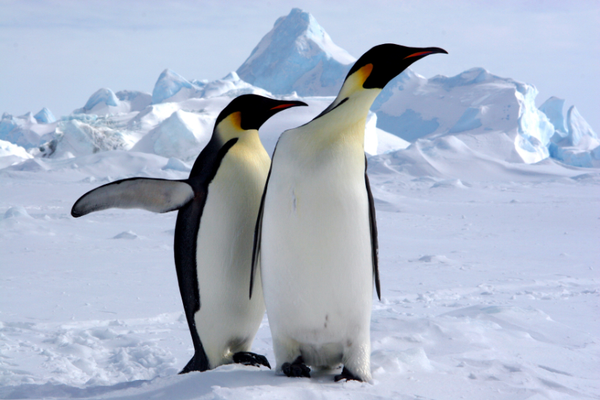 Pingouins de Patagonie