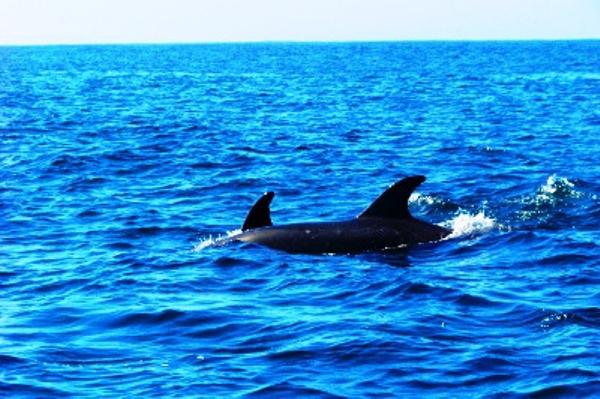 Dolphins in Punta Choros