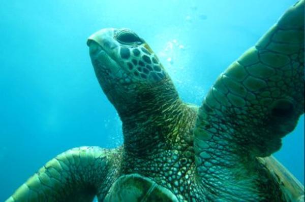 tortue-plongee-ile-de-paques.jpg