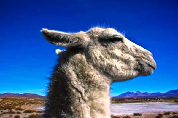 Vicuña - Lauca National Park