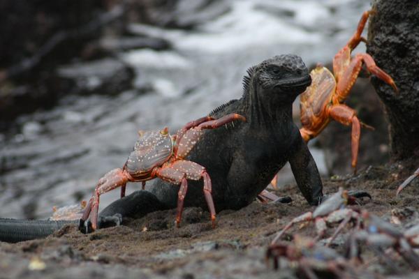 galapagos-iguana.jpg