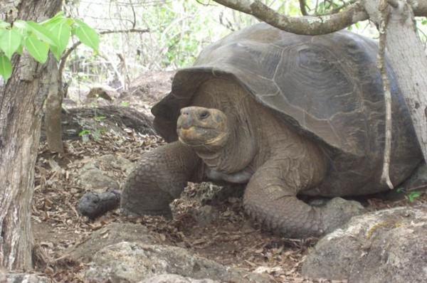Galapagos Turtle.jpg