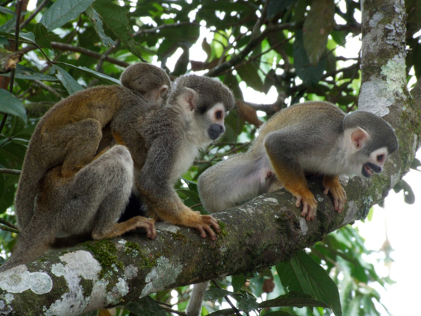 amazonie-singes2002.jpg