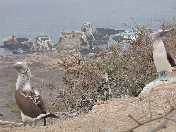 isla-de-la-plata-fou.jpg