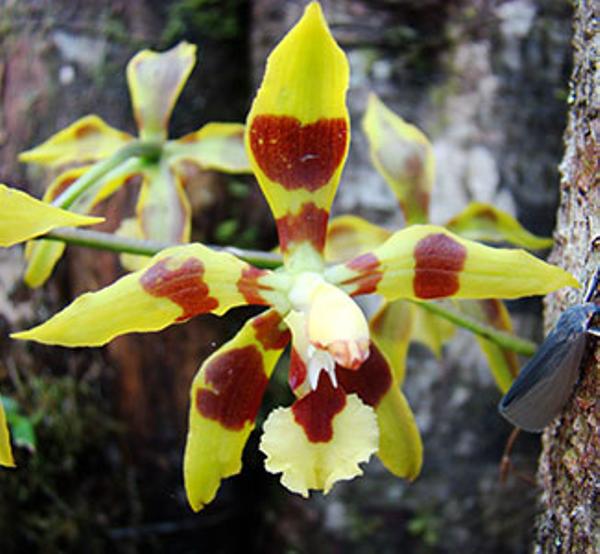 orchidc3a9e20chocolat-1.jpg
