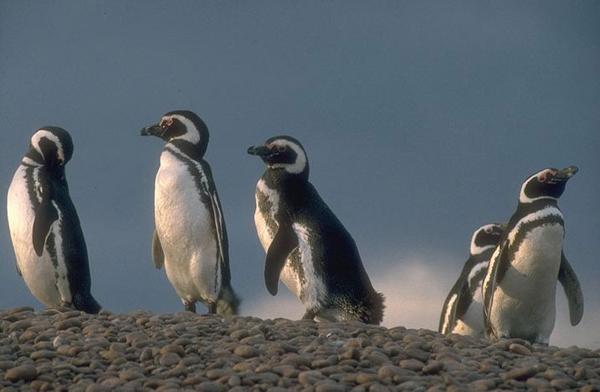 pingouinsa35e047ac05c509f718f1817c70d14b4.jpg