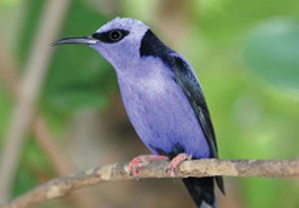 Oiseaux%20de%20Colombie