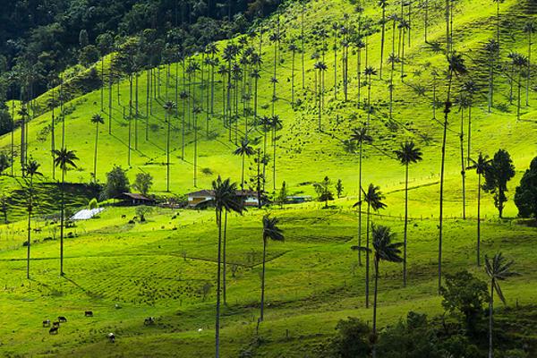 Palmiers de cire