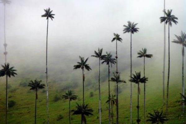 palmiers-cire-vallee-cocora.jpg