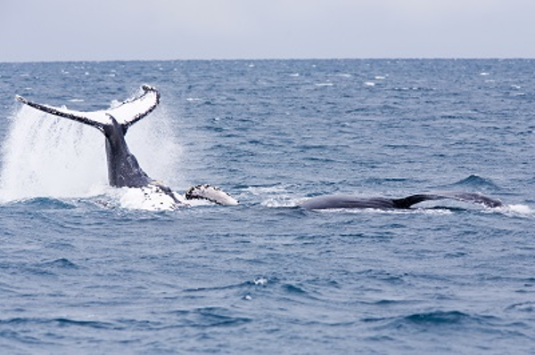 Whale - Abrolhos