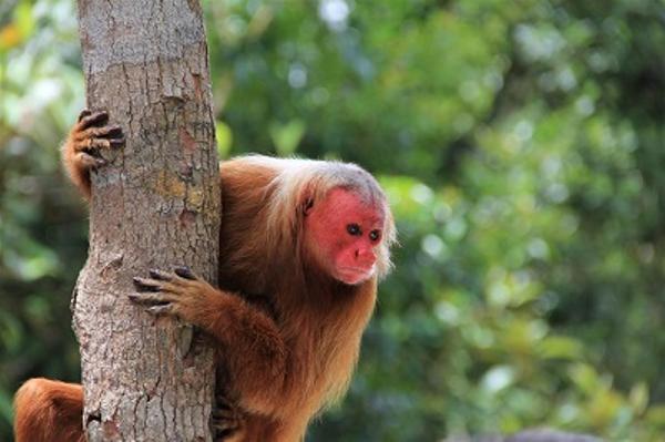Amazon monkey