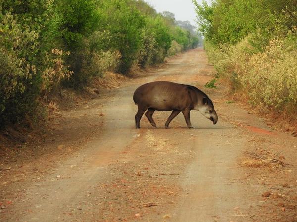 tapir_parc20kaa20iya.JPG