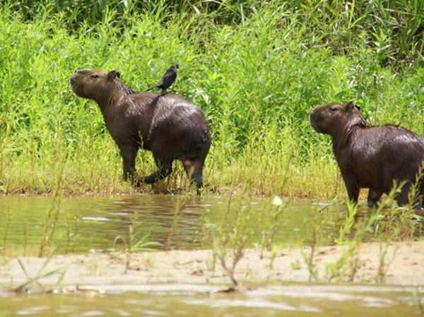 Capibara, Amazonia