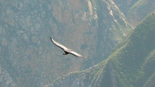 condor-2.jpg
