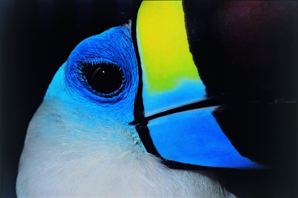 oiseaux_toucan.jpg
