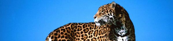 43-jaguar.jpg