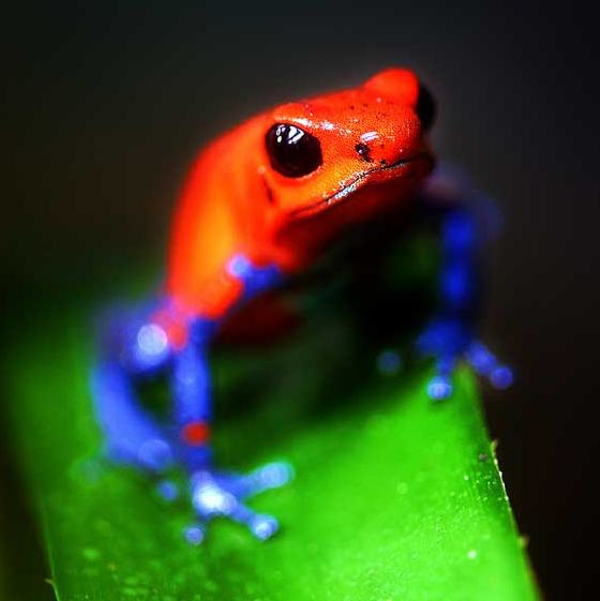 Blue-jean-frog-costa-rica
