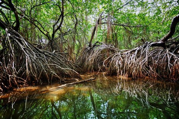 full-mangrove-at-sierpe.jpg