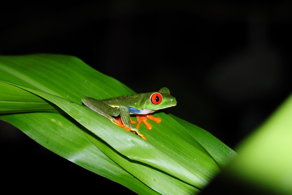 grenouille20yeux20rouge.jpg