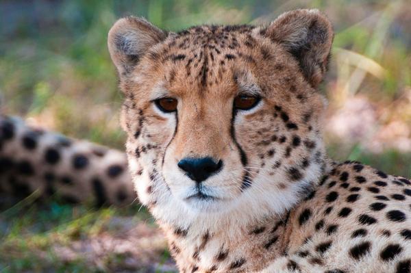 Guépard dans la réserve de Linyanti au Botswana