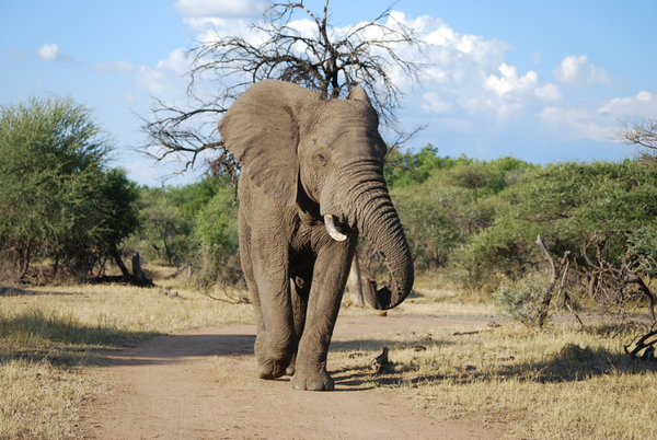 Elephant walking in the Kruger Park