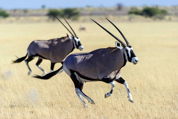 Oryx dans le Kalahari au Botswana