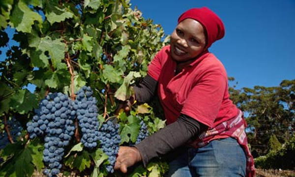 grape-harvest-south-afric-001.jpg