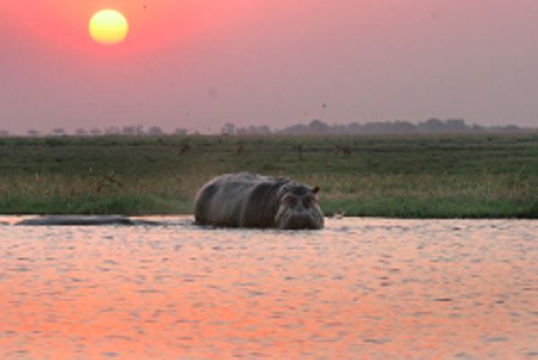 Hippo au Botswana