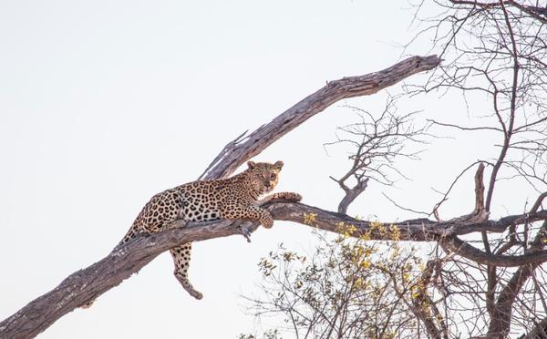 Leopard%20in%20Botswana