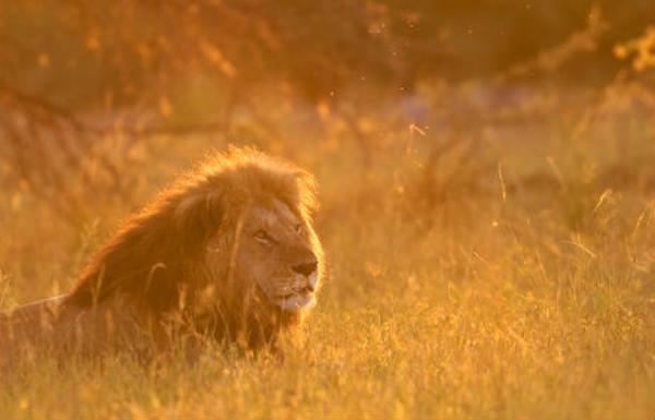 lion%20au%20Botswana