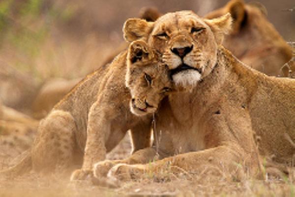 lionceaux%20au%20Botswana