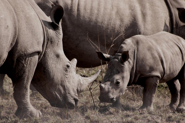 Rhino family in South Africa