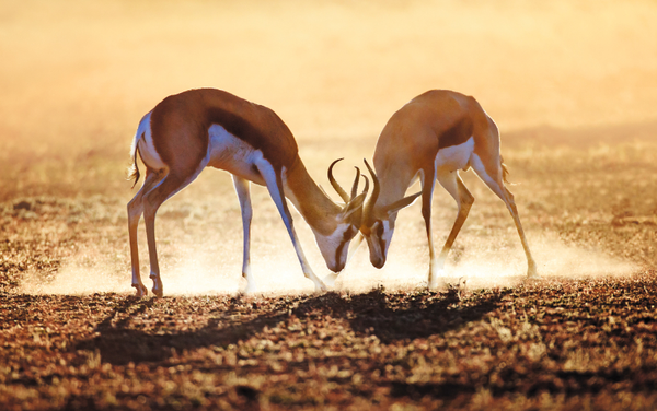 Springbok%20dual%20in%20the%20Kalahari%20desert