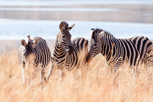 Zebra%20in%20South%20Africa