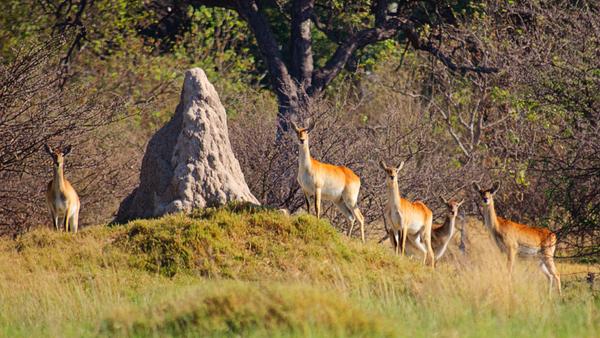 Antilope dans le Delta de l'Okavango au Botswana.
