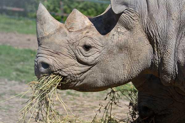 black-rhinoceros.jpg