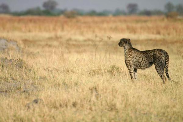 Guépard dans le Delta de l'Okavango au Botswana.