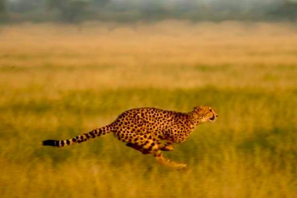 Guépard dans la Passarge Valley au Botswana.