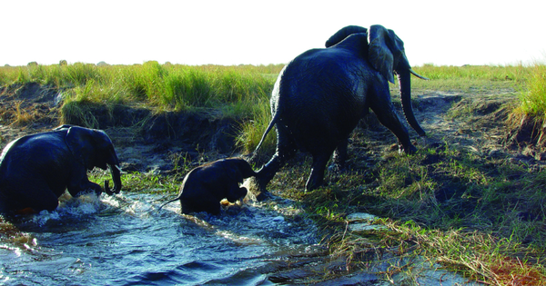 Elephant getting out of the river in Botswana.