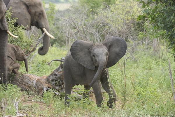 Éléphant à Chobe au Botswana.