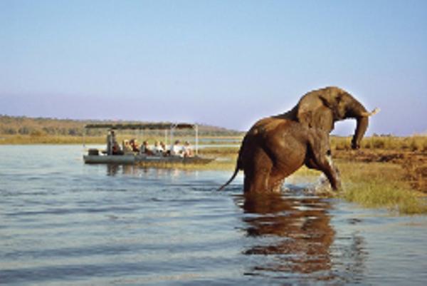 Eléphant sur le bord de la rivière Chobe au Botswana.