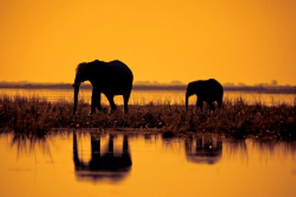 Eléphants au coucher de soleil au Botswana.