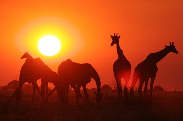 Girafes au coucher de soleil au Botswana.