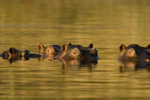 Hippopotame dans la rivière Khwai au Botswana.