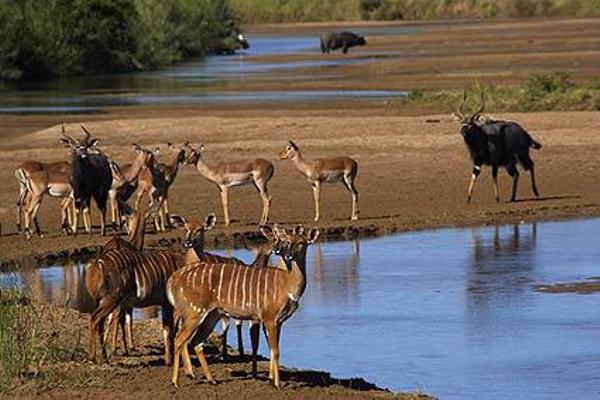 impala-nyala-herds-hluhluwe-imfolozi-park-kwazulu.jpg