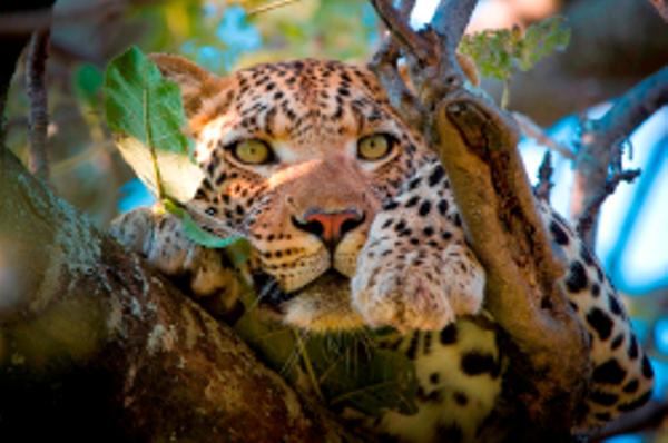 Léopard au Botswana.