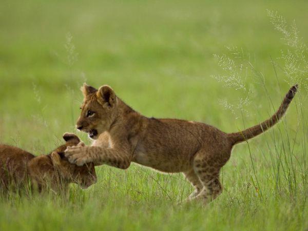 lion-cub-pawing-head_27533_600x450.jpg
