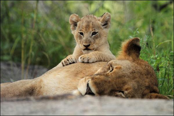 lion-mom-sleeping-and-cub4d95952ac5e9dfba2dc1b0cd0b469491.jpg