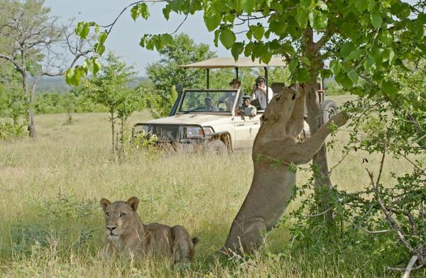 Lions dans le Parc National South Luangwa en Zambie.